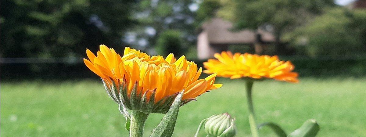 goudsbloemen bij vakantiehuisje boerderij Molenbergh in Drenthe