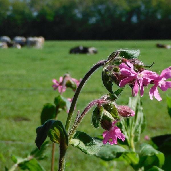 koeien in de wei natuur bij bed breakfast vakantiehuisje molenbergh drenthe
